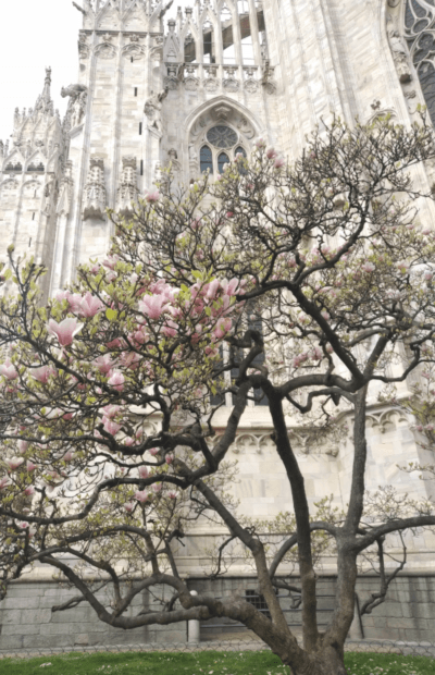 Tree blossom in front of Milan's cathedral Spring 2020, the author's image